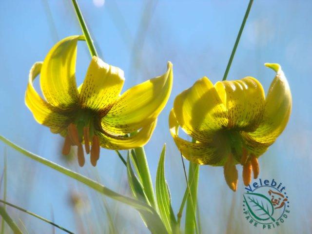 Naturpark Velebit Flora Fauna